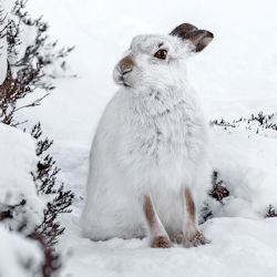 DW Mountain Hare
