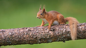 DW Red Squirel